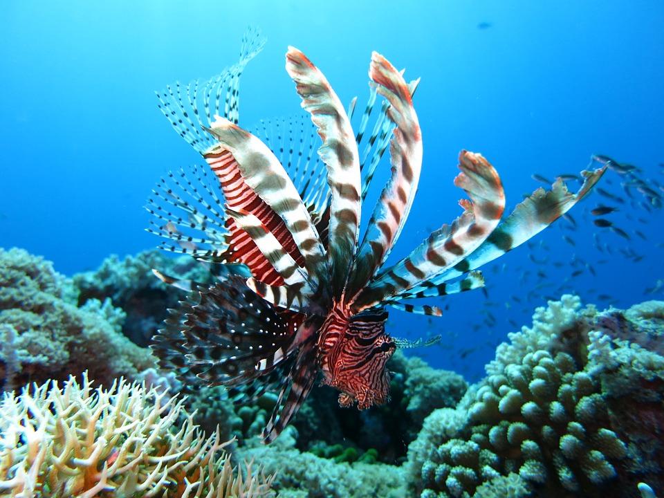 lionfish-1430225_960_720.jpg