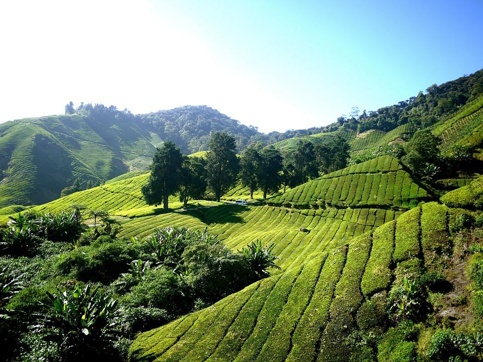 tea-plantation-261515_960_720.jpg